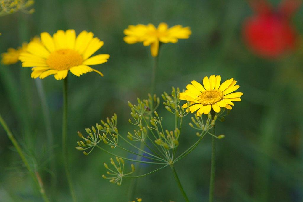 Blumen-7891-20110817.jpg